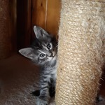 chatons maine coon - miniature 2