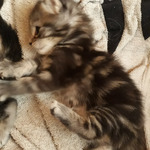 chatons maine coon - miniature 3