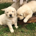 chiots    golden retriver