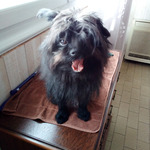 male affenpinscher pour saillie