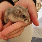 /upload/annonces/75904/thumbnail/01-15679304145823538714332454785704.jpgvente d'hamsters nain russe