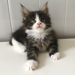 chatons maine coon gros gabarit