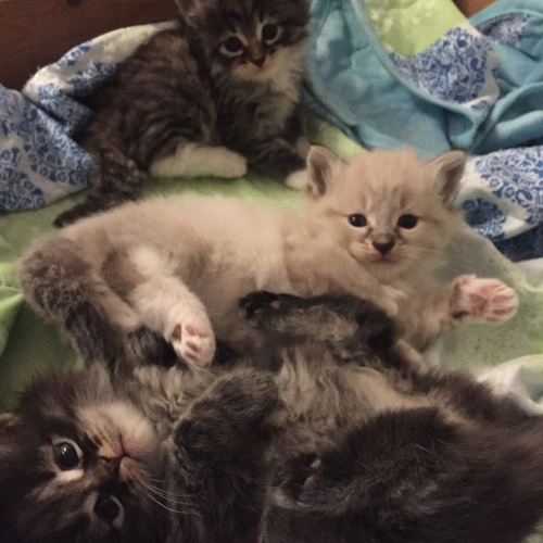 magnifiques chatons siberiens loof a reserver 1