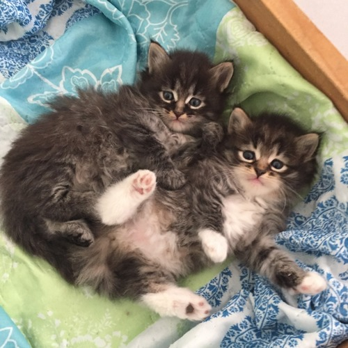 magnifiques chatons siberiens loof a reserver 2