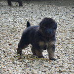 chiots berger allemand poil long disponible.