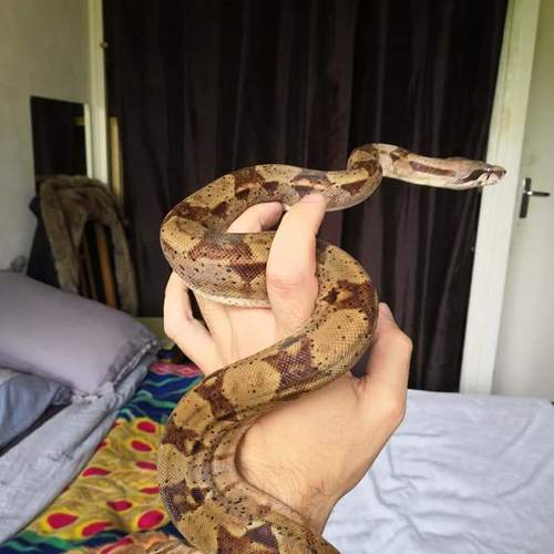 boa constrictor imperator couple 1an 1