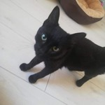 griotte: chatte 1 an noire