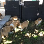 /upload/annonces/76117/thumbnail/02-img_6685.jpgvend chiots type colley sable/fauve