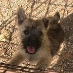 /upload/annonces/76128/thumbnail/01-70356548_2329148547199656_7898314956058132480_n.jpgchiot cairn terrier