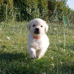 /upload/annonces/76129/thumbnail/01-lbc2.jpgchiot golden retriever lof
