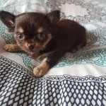 /upload/annonces/76130/thumbnail/01-20190913_165953.jpgchiots chihuahua