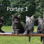 chatons maine coon lignée outcross
