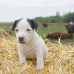 adorables chiots type jack russel - miniature 1