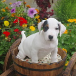 adorables chiots type jack russel - miniature 2