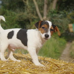 adorables chiots type jack russel - miniature 3