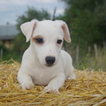 adorables chiots type jack russel - miniature 4