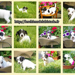 adorables chiots type jack russel - miniature 5