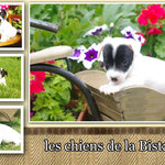 adorables chiots type jack russel - miniature 6