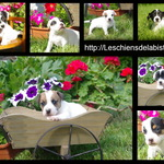 adorables chiots type jack russel - miniature 7