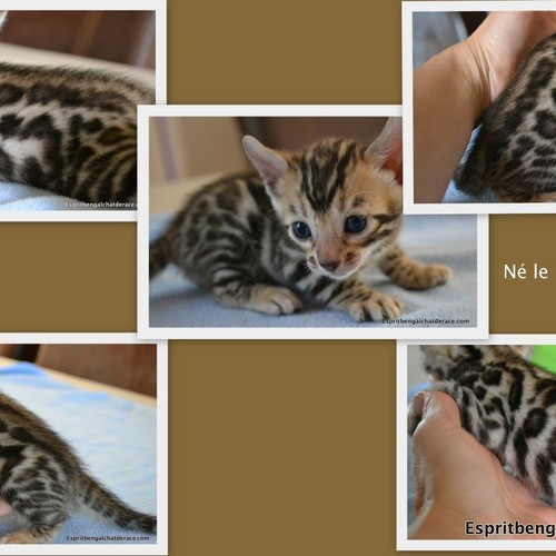 sublimes chatons bengal loof 1