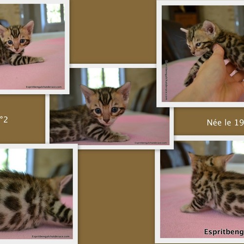 sublimes chatons bengal loof 4