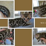 sublimes chatons bengal loof - miniature 2