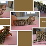 sublimes chatons bengal loof - miniature 3