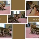 sublimes chatons bengal loof - miniature 4