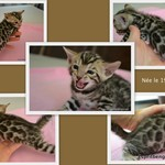 sublimes chatons bengal loof - miniature 5
