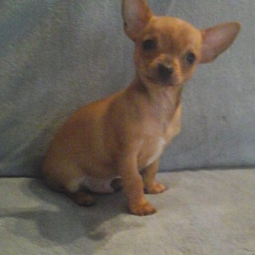 chiot male chihuahua 3