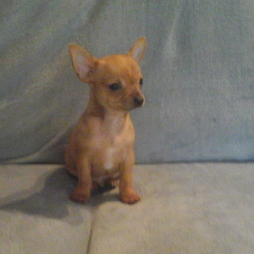 chiot male chihuahua 4
