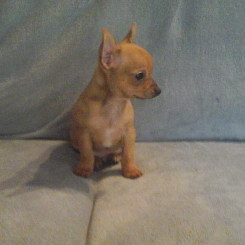 chiot male chihuahua 5