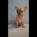 chiot male chihuahua - miniature 2