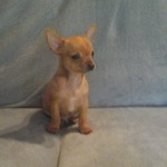 chiot male chihuahua - miniature 4