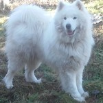 samoyede male pour saillie