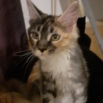 disponibles adorables bébés maine coon