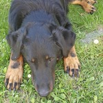 belle chienne beauceron