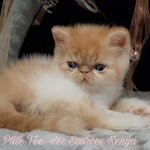 chatons exotic ou persan - miniature 1
