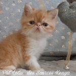 chatons exotic ou persan - miniature 2