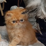 chatons exotic ou persan - miniature 3