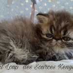 chatons exotic ou persan - miniature 4