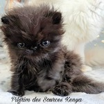 chatons exotic ou persan - miniature 5