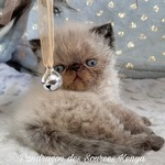 chatons exotic ou persan - miniature 6