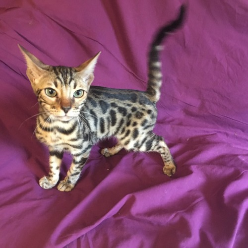 chatons bengal brown et silver 3