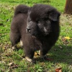 /upload/annonces/76691/thumbnail/01-img_20191006_163331.jpgchiots eurasier