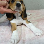 2 beagle m. lof - miniature 2