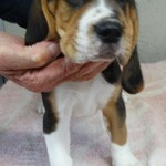 2 beagle m. lof - miniature 4