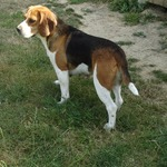 2 beagle m. lof - miniature 5