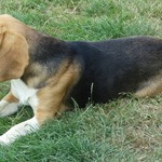 2 beagle m. lof - miniature 6
