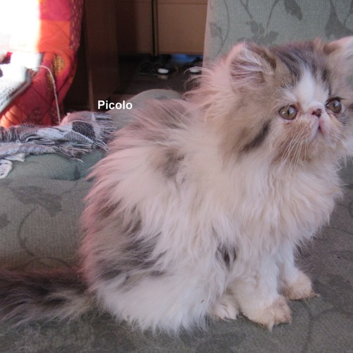 superbe chaton male persan loof 4